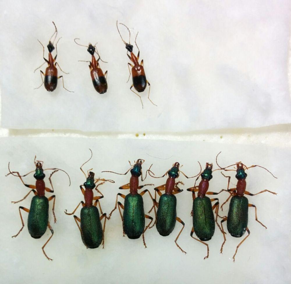 Senegal_Carabidae2