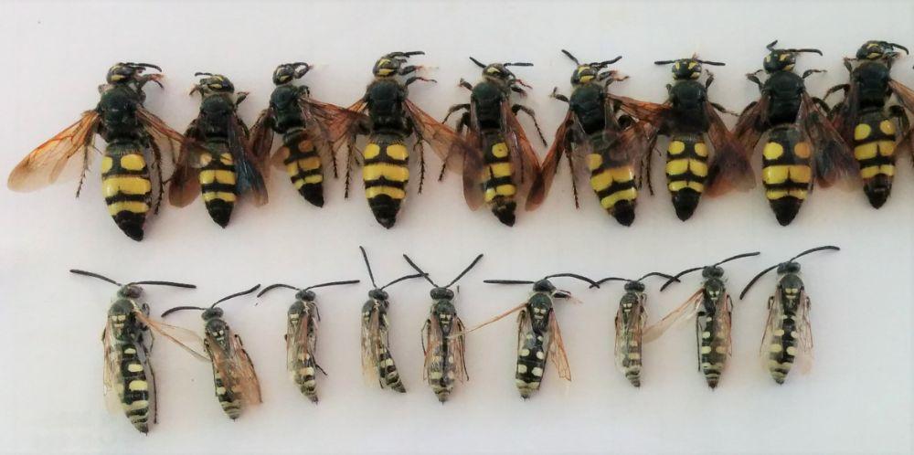 Europe_Hym_Scoliidae_Colpa_sexmaculata